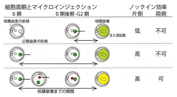 マイクロインジェクションから核膜崩壊までの期間の長さがノックイン効率に影響するの図